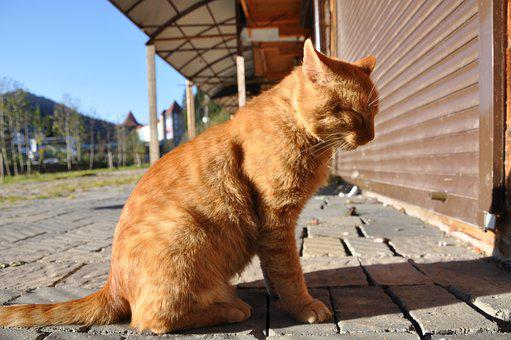 Cat, Sitting, Redhead, Red-headed Cat, Outdoor Cat