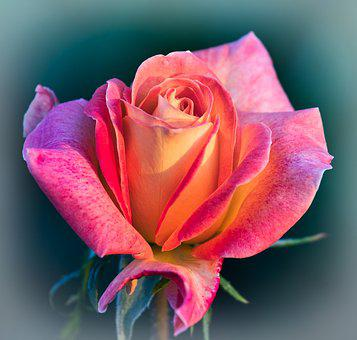 Rose, Romantic, Love, Rose Bloom, Beauty, Beautiful