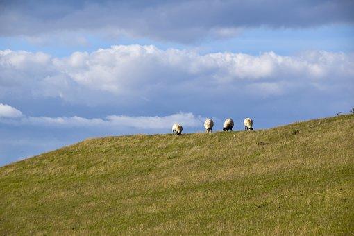 Sheep, Dike, Grass, Landscape, North Sea, Rest