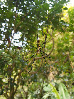Spider, Yellow Spider, People Face Spider