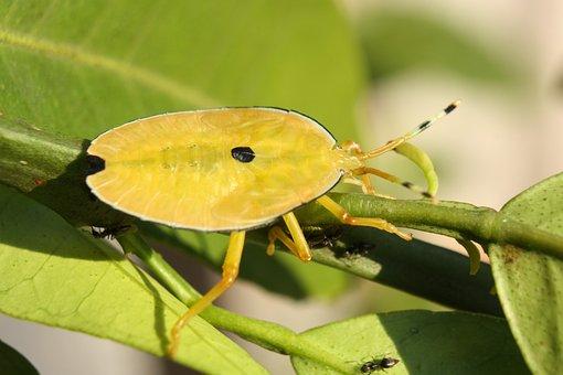 Stink Bug, Shield Bug, Bronze Orange Bug, Nymph, Insect