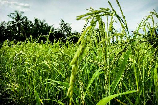 Cornfield, Vole, Nature, Rice, Information, Sky, Summer