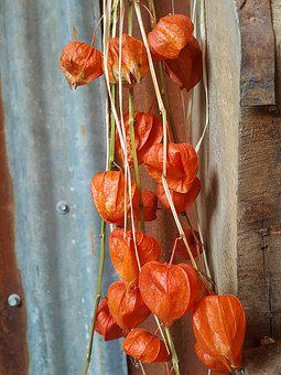 Chinese Lantern, Physalis Franchetii, Oranges, Textures