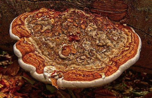 Tinder, Tree Fungus, Mushroom, Sponge