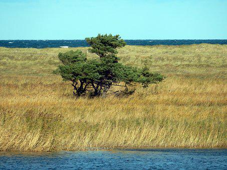 Tree, Bodden, Baltic Sea, Darß, Windfluechter, Reed