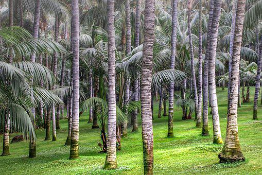 Palm Trees, Nature, Forest, Plant, Tropical, Tribe