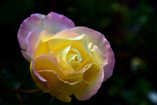 Rose, Tender, Blossom, Bloom, Love, Valentine's Day