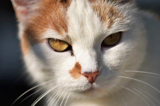 Cat, White, Pet, Animal, Domestic Cat, Fur, View
