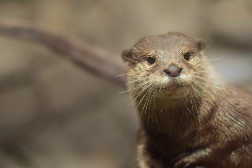 The Tree Otter, Otter, Animal