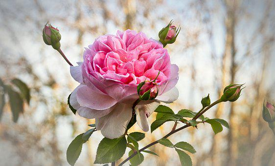Rose, Autumn, Romantic, Love, Rose Bloom, Beauty