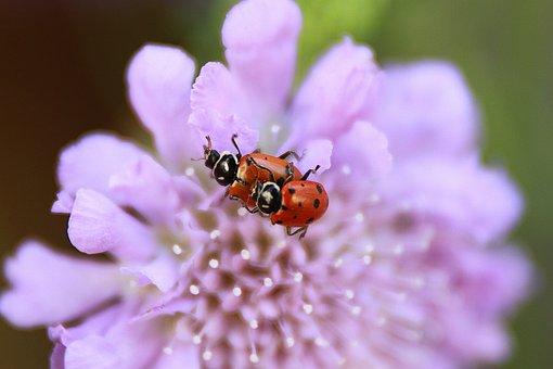 Ladybugs Mating, Purple Flower, Nature, Animals, Beetle