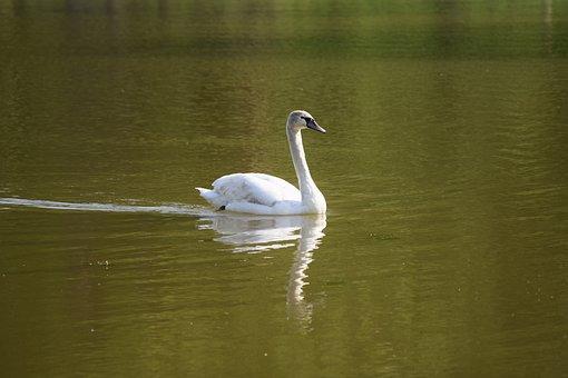 Schwan, Svan, Swan, White, Bird, Nature, Lake, Water