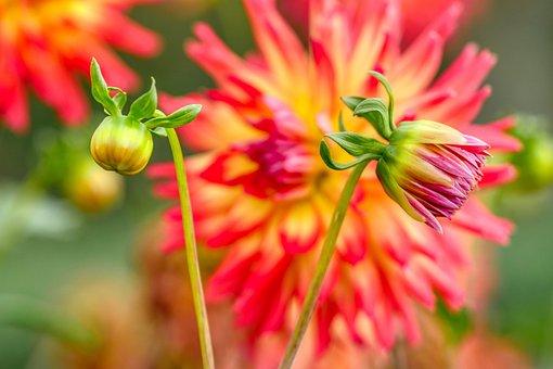 Dahlia, Bud, Flower, Blossom, Bloom, Bloom, Flora