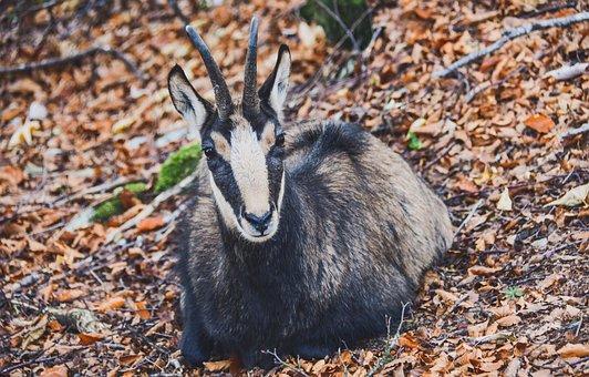 Chamois, Forest, Wild, Horns, Fauna, Mammals, Herbivore