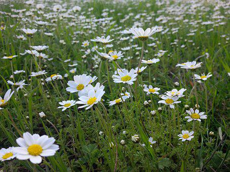 Spring, Daisy, Flower, Nature, Summer, Daisies, Chan