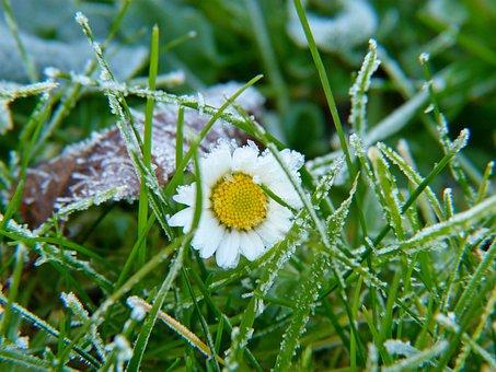 Daisy, Grass, Flowers, Meadow, Flower, Daisies, Green