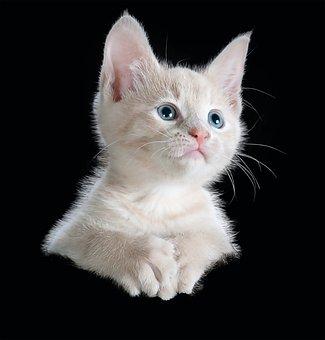 Cat, Kitten, Isolated, Pet, Animal, Domestic Cat, Cute