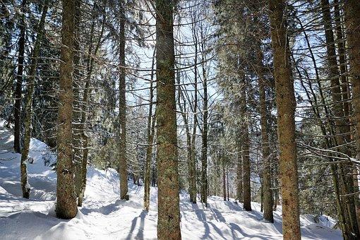 Forest, Winter, Tree, Snow, Fir Tree, Spruce, Branch