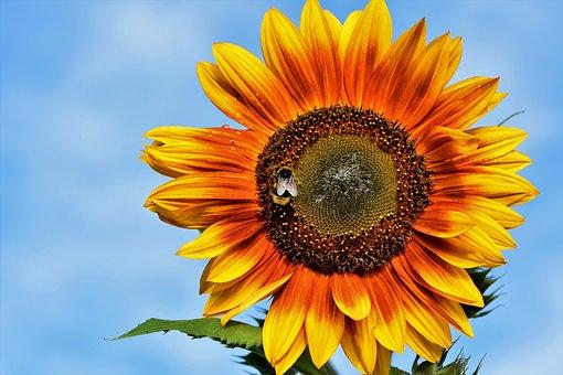 Sunflower, Flower, Hummel, Insect, Blossom, Bloom