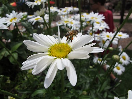Flower, Daisy, Bee, Honey, Nature, Summer, Bloom