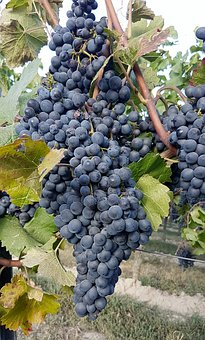 Wine, Vines, Vine, Winegrowing, Fruit, Grapes, Nature