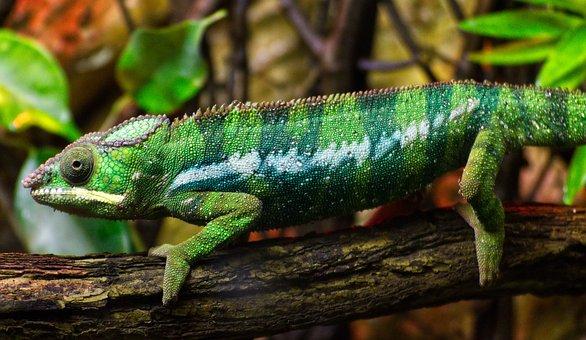 Chameleon, Animal, Lizard, Reptile, Green, Nature