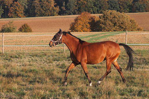 Horse, Saddle Horse, Coupling, Brown, Trot, Step, Mane
