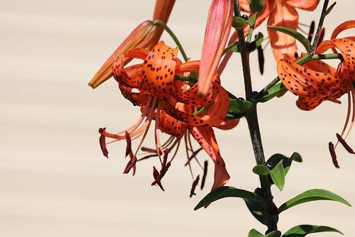 Lily, Tiger Lilies, Lilium Lancifolium, Tiger Lily
