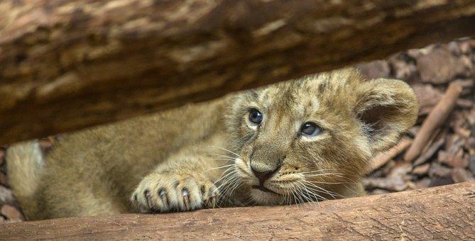 Whelp, Lion, Little, Animal, Nature