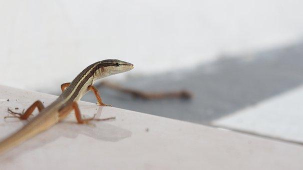 Reptiles, Lizard, Indonesian