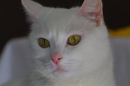 Cat, White, Predator, Domestic Cat, Kitten, Mammal, Fur
