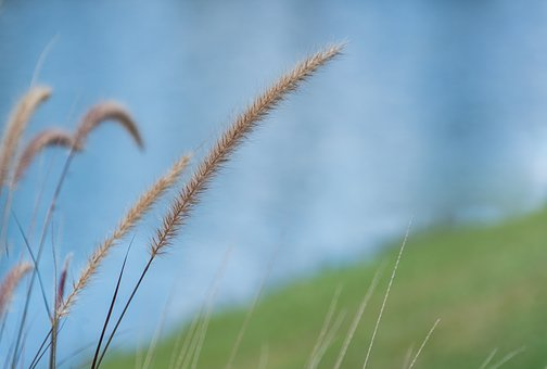 Fountain Grass, Close Up, Pond, Nature, Water