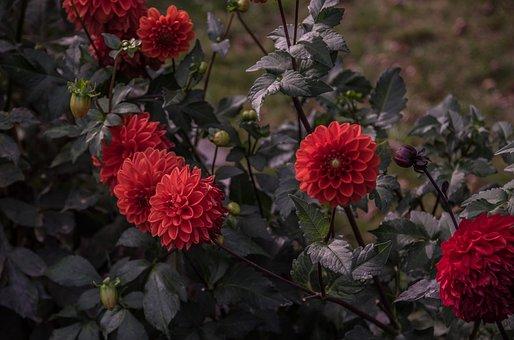 Flower, Red, Dahlia, Blossom, Bloom, Nature, Petals