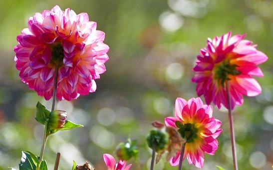 Nature, Flowers, Dahlias, Bud, Light, Sun, Meadow