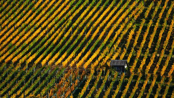 Landscape, Nature, Wine, Vines, Autumn, Rebhaus, Light