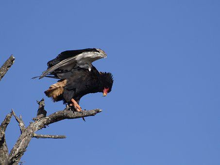 Bateleur Eagle, Wild, Bird, Nature