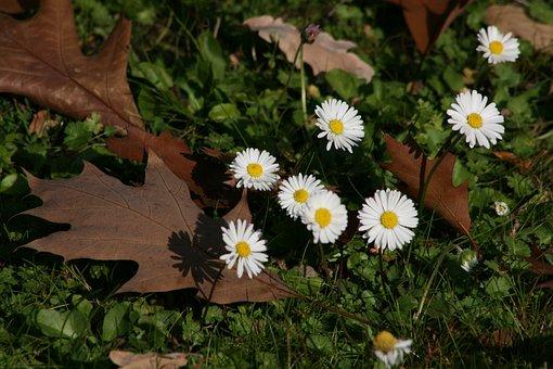 Daisy, Autumn, Leaves, Oak Leaves, Meadow, Autumn Mood
