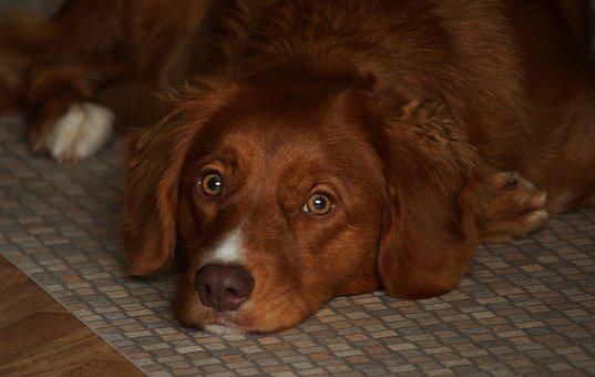 Dog, Toller, Pet, Retriever, Adorable