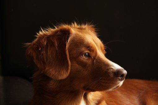 Dog, Pet, Toller, Portrait, Head