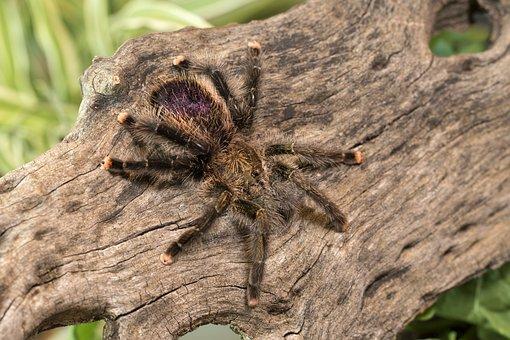 Tarantula, Spider, Creepy, Arachnid, Hairy, Phobia