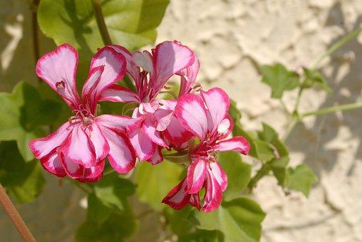 Flowers, Sunny Day, Garden, Summer, Pink