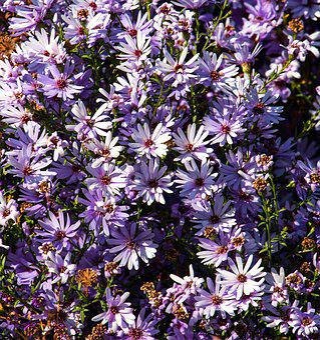 Flowers, Plant, Purple, Flora, Nature, Bloom, Garden