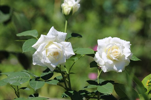 Roses, Flowers, White Rose, Two, Nature, Plant, Sheet
