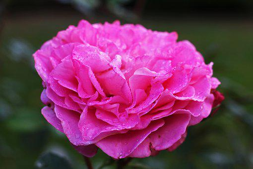 Rose, Pink, Scented Rose, Raindrop, Nature, Bloom