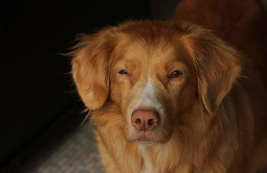 Dog, Toller, Pet, Retriever, Face, Portrait