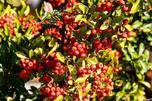 Rowanberries, Fruits, Nature, Ripe, Bush, Red, Autumn