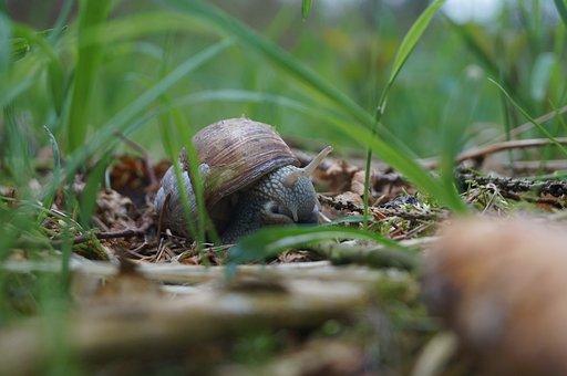 Snail, Vinbjergs Nail, Natural, Snail Meat, Macro