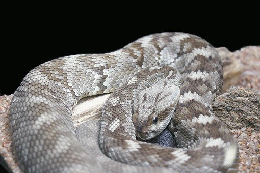 Snake, Reptile, Scales, Rattlesnake, Viper