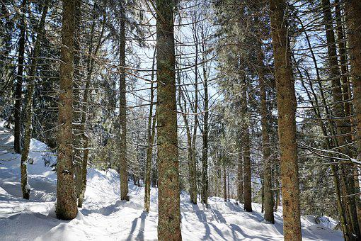 Forest, Winter, Tree, Snow, Fir Tree, Spruce, Branch