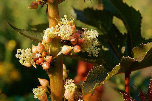 Blossom, Bloom, Castor Oil Plant, Seeds, Toxic